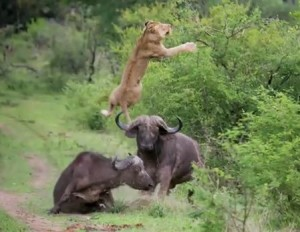 buffalo saves another