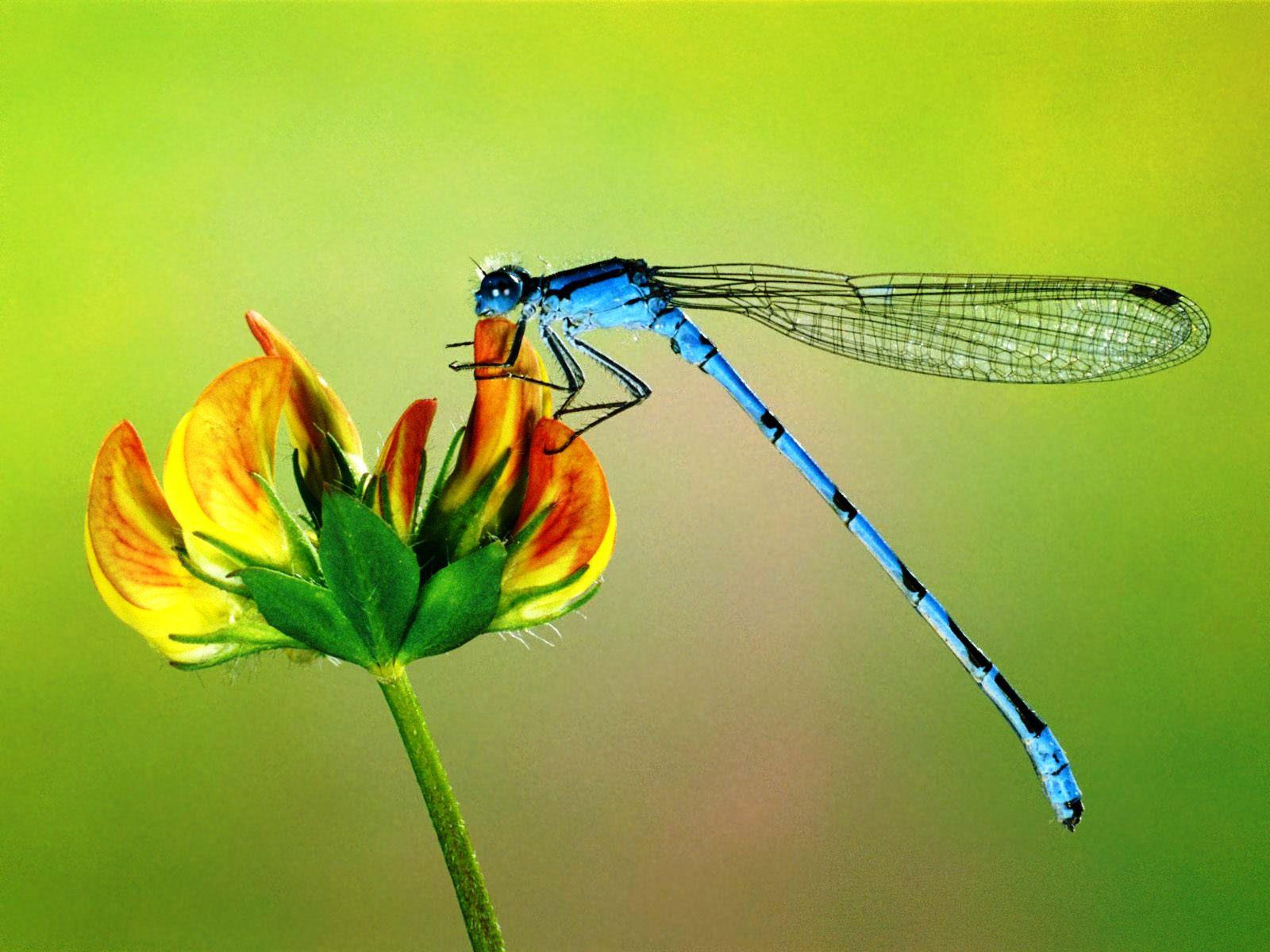 Dragonfly-Cool-HD